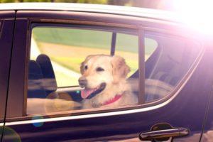 A Dog Seat Belt Keeps Your Dog Safest on Car Journeys